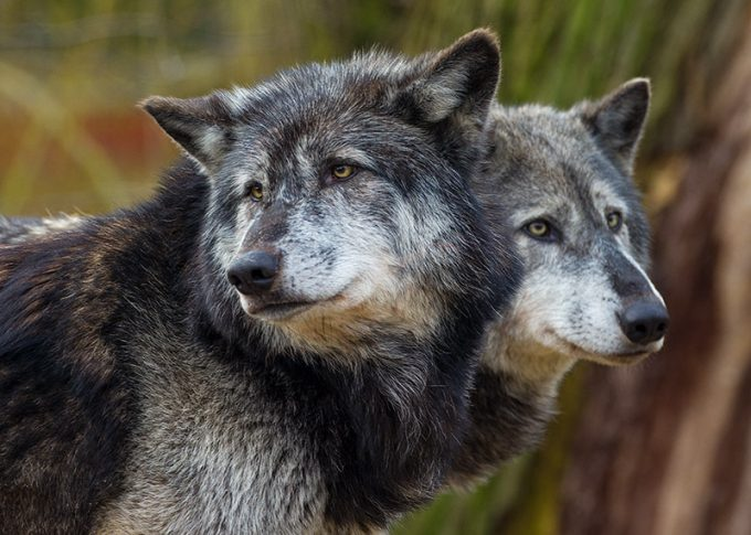 two wolves standing next to each other