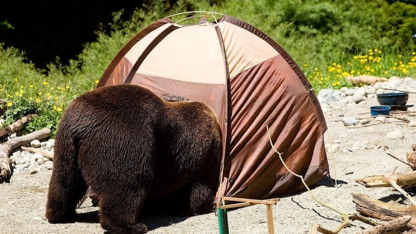 bear in the tent