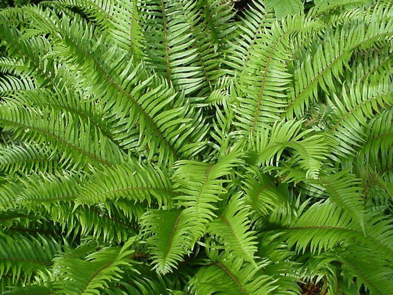 lady ferns plant