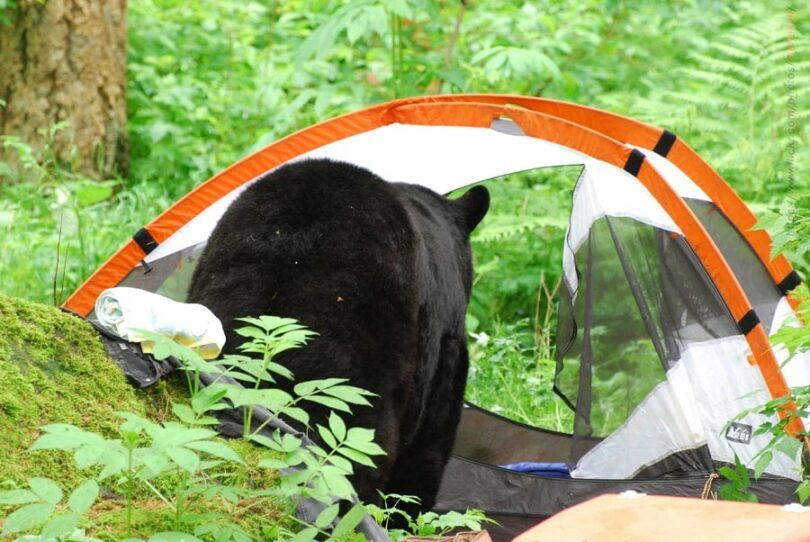 survive bear attack- bear in the tent