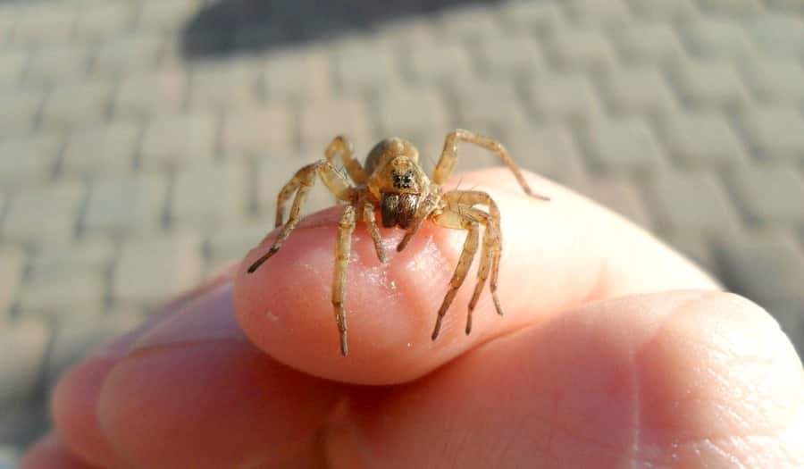 Treatment Of Poisonous Spider Bites