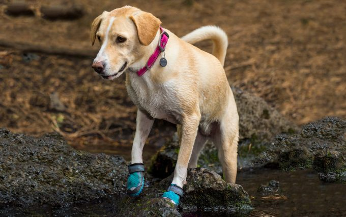 dog with hiking boots in puddle