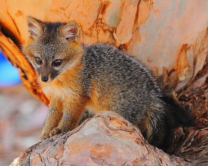 Santa Cruz Island Fox Pup, Channel Islands National Park