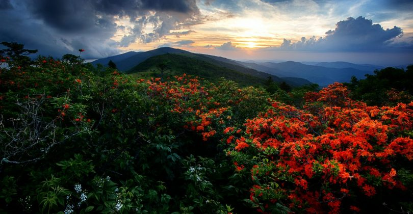 Flame Azaleas along the Appalachian trail at sunset at Roan Highlands on the Tennessee-North Carolina border.