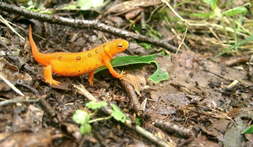 A picture of a salamander on the Appalachian Trail