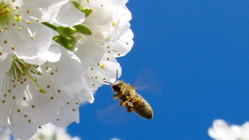 Brown Honey Bee Hovering Under White Petaled Flower during Daytime