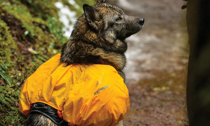 A dog wearing a waterproof pack on a rainy day