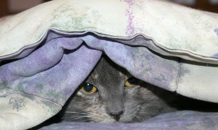 A cat in a blanket
