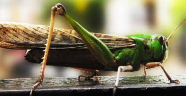 Close-up photo of a Cricket Outside