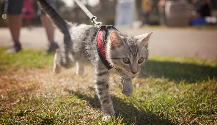 Teach your cat to be on a leash