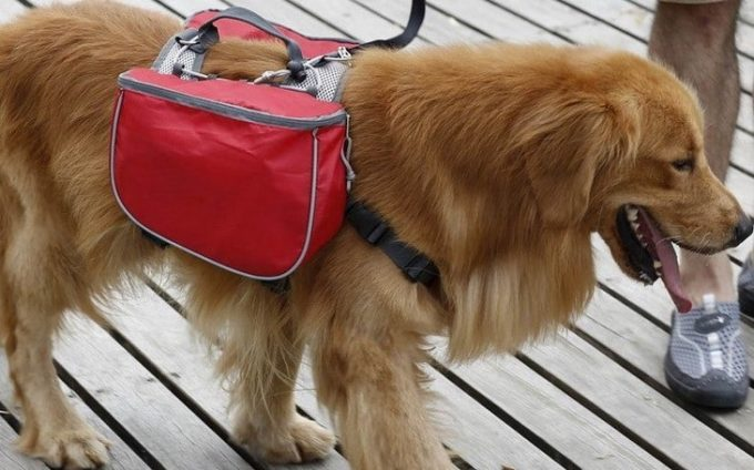a brown dog with a backpack
