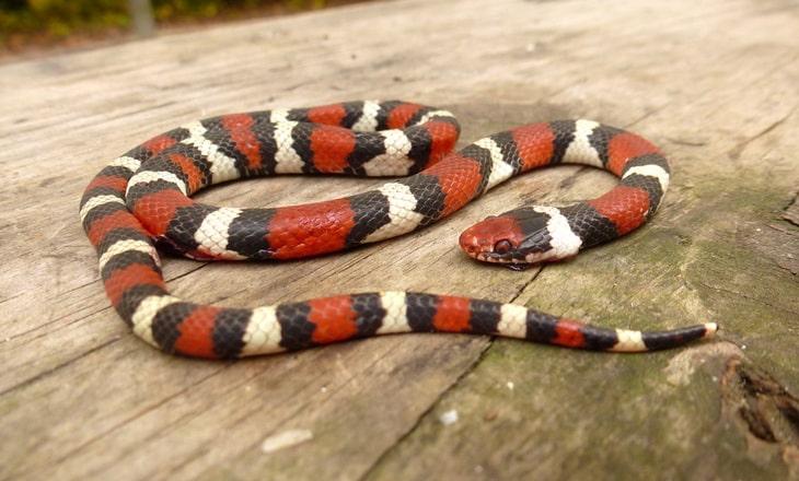 DOR snakes often look a little bug-eyed