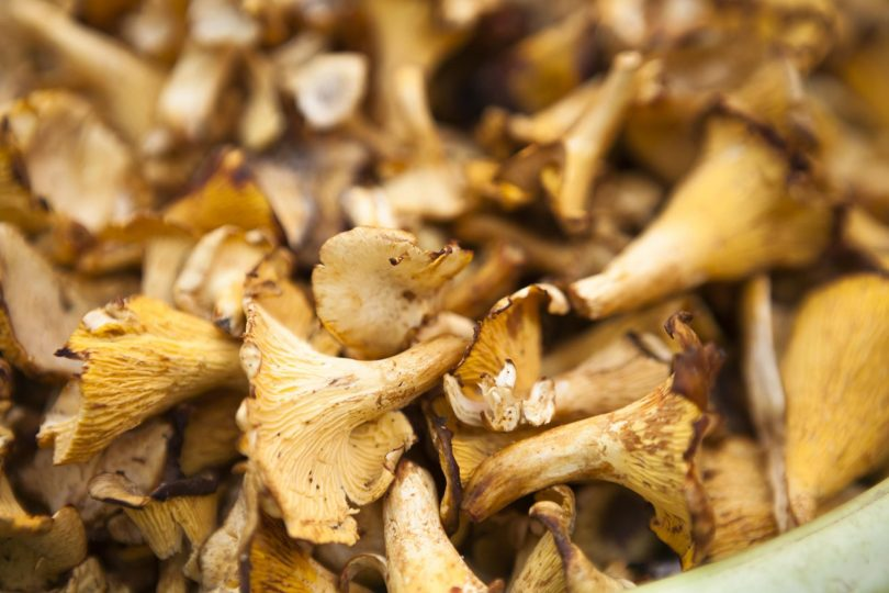 Dehydrating mushrooms for camping trips