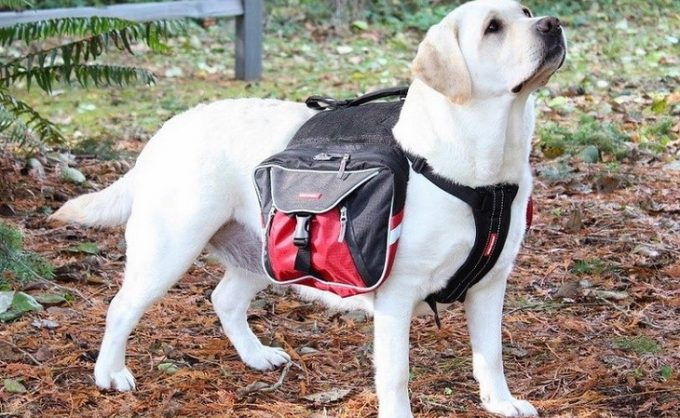 A white Dog-with-backpack