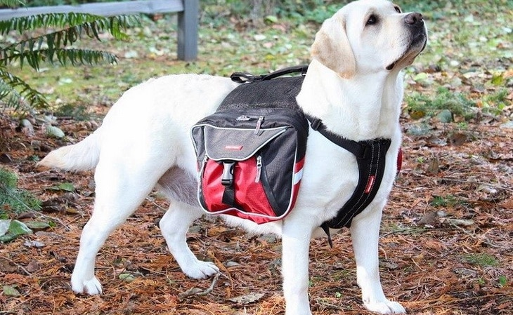 Dog-with-backpack