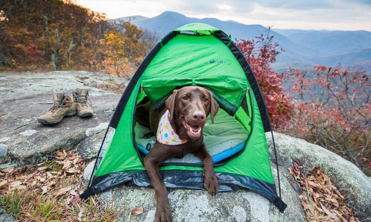 Labrador Retriever in his shelter