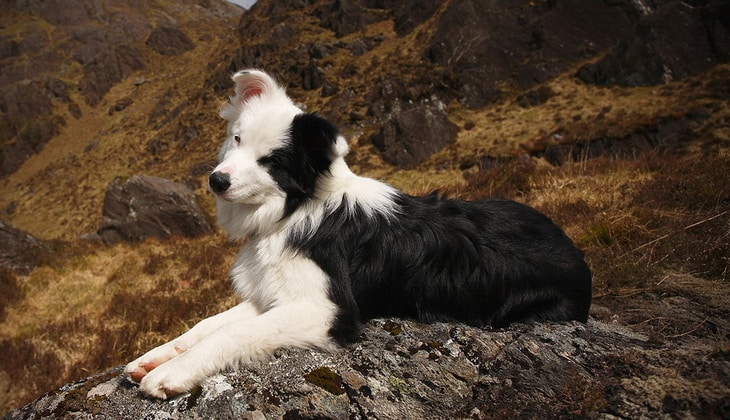 Photo of a Border Collie resting