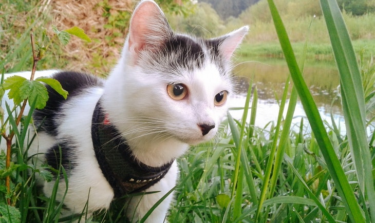 A cat with a leash in the nature