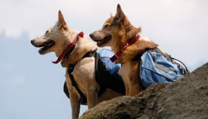 Two dogs with backpacks