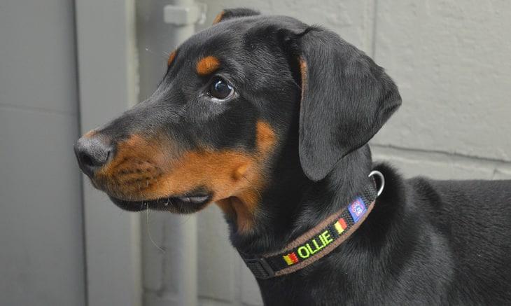 doberman-pinscher dog named Ollie