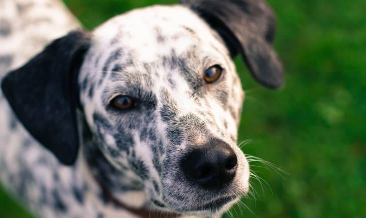 Close-up picture of a Dalmatian dog