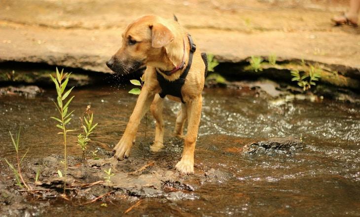 Rhodesian Ridgeback dog trying to pass the river