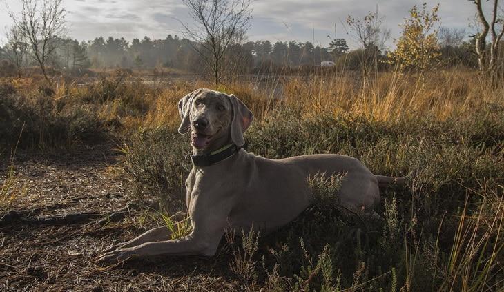 Weimaraner dog in the forest