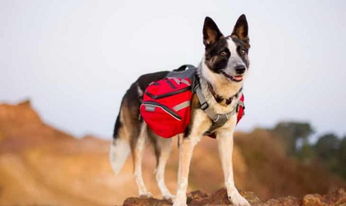 A dog-wearing-a red backpack for dogs