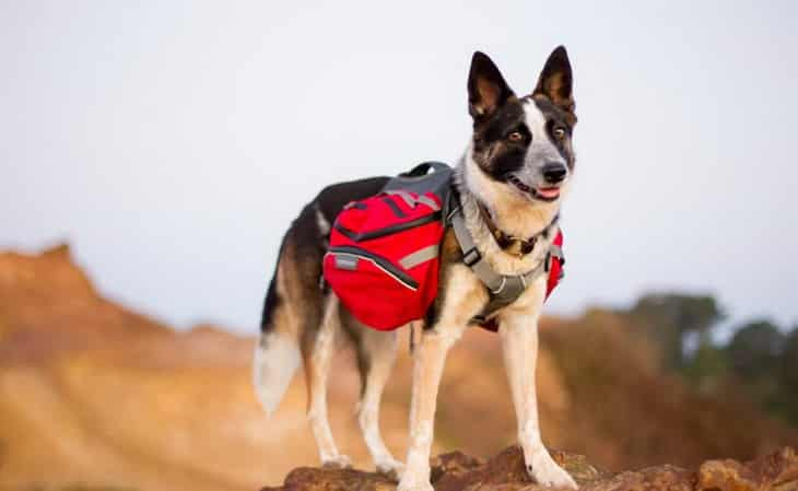 A dog-wearing a backpack is looking at the camera