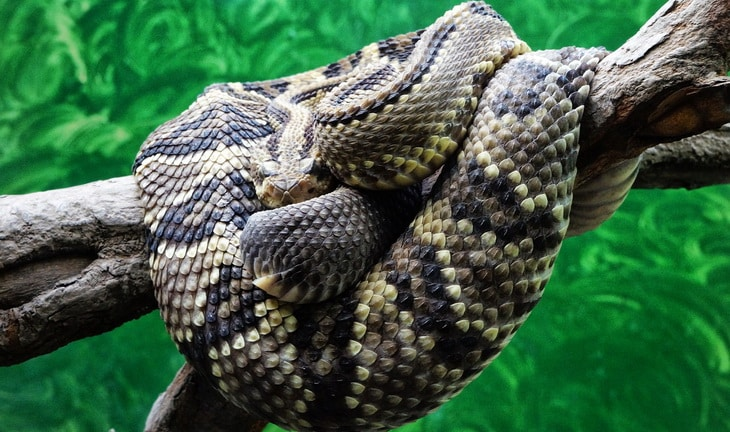 el-salvador rattlesnake in a tree