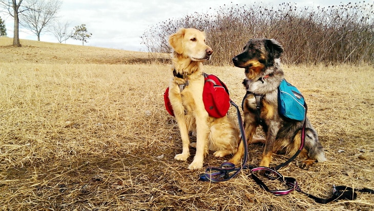 Two dogs with backpacks outside
