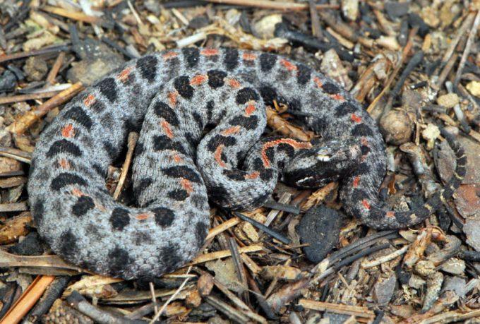 poisonous snakes hiking