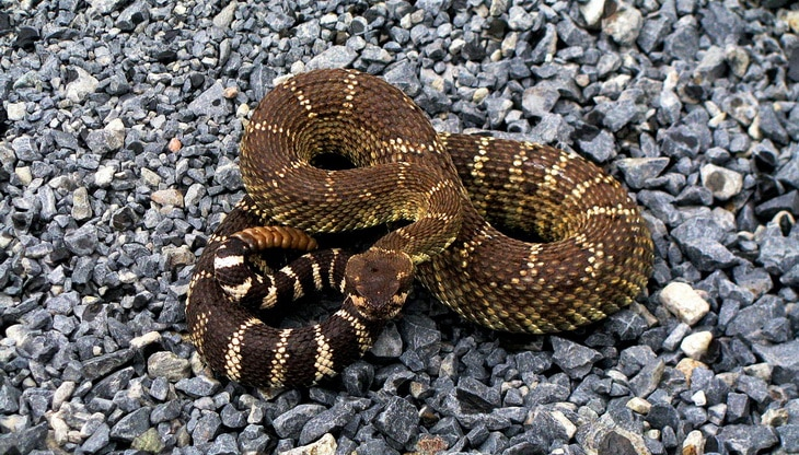 rattle-snake on the rocks