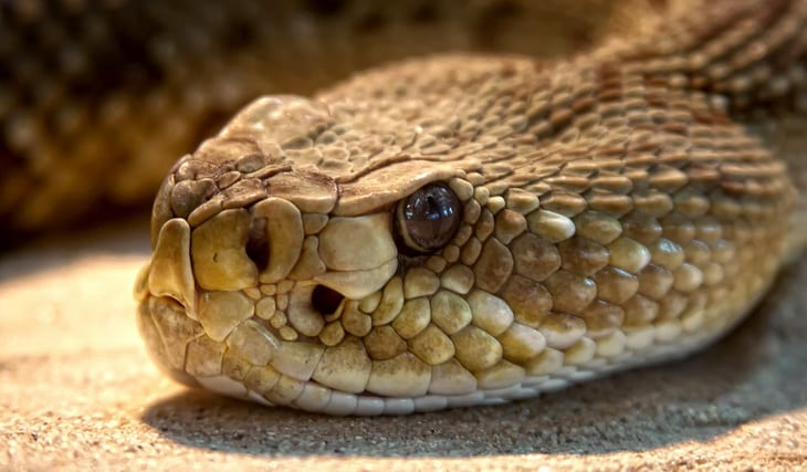 close-up photo of a rattlesnake