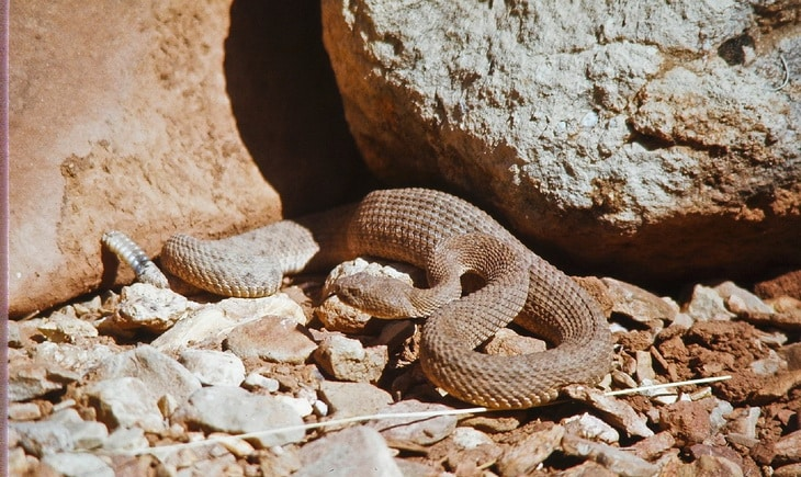 a rattlesnake moving