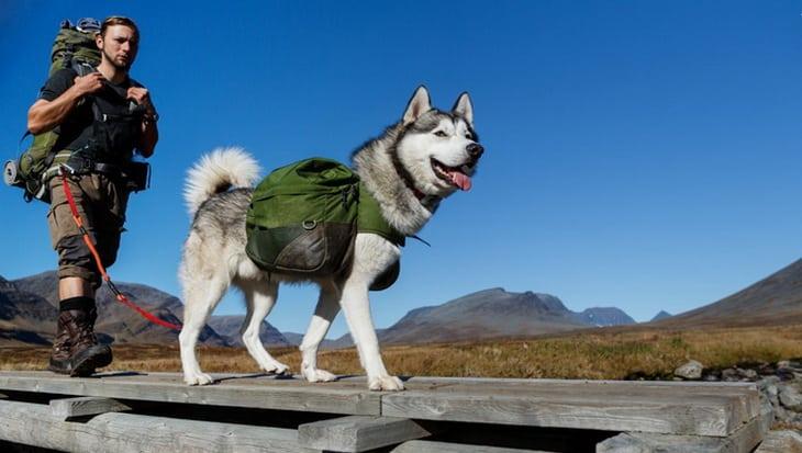 Siberian Husky Dog and a Hiker