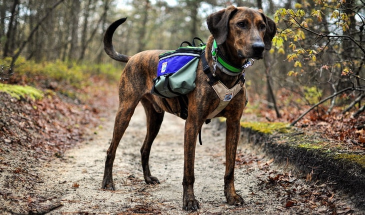 A dog hiking in the forest