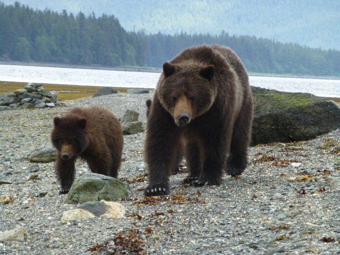 Kootznoowoo Brown Bear iin_Tongass_National_Forest