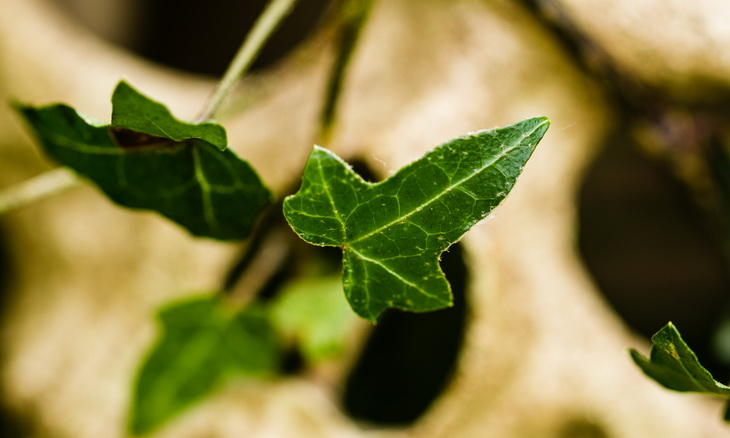 Close-up of poison ivy