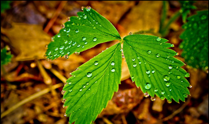 Poison Ivy drops