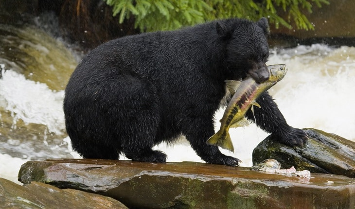 A black bear pulls a fish from a stream.