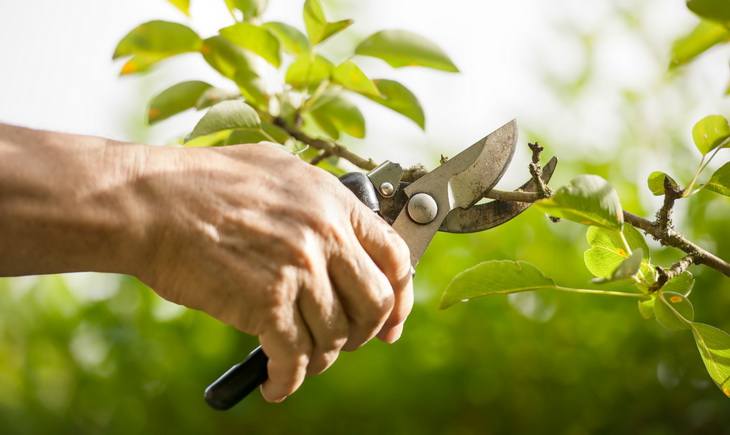 A man Pruning the Tree