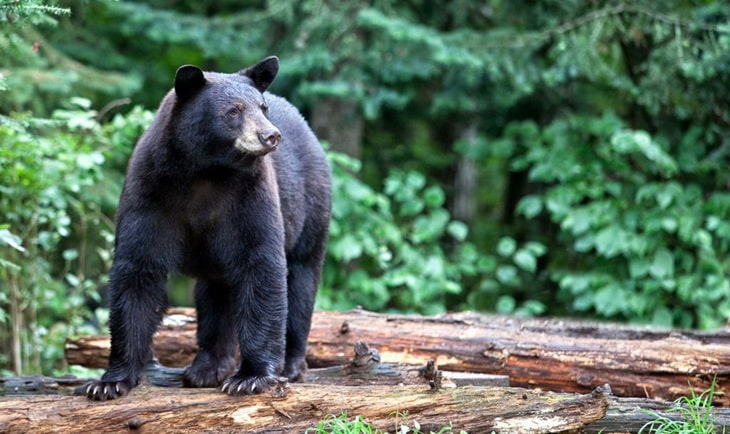 Bear attacks certainly generate headlines and create fear, but if you are confronted by a black or grizzly bear, don't panic, run, or try to climb a tree.