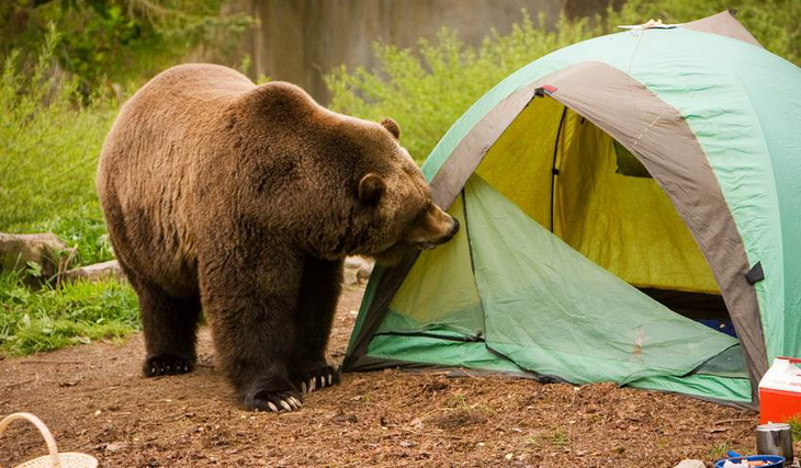Brown Bear near a tent