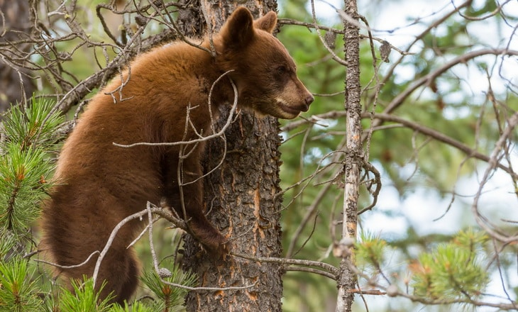 Grizzly bear cub and a couple of trees