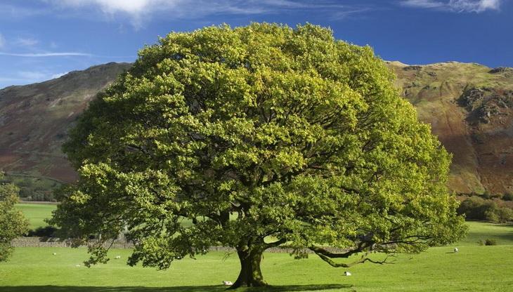 Growing the Columnar English Oak