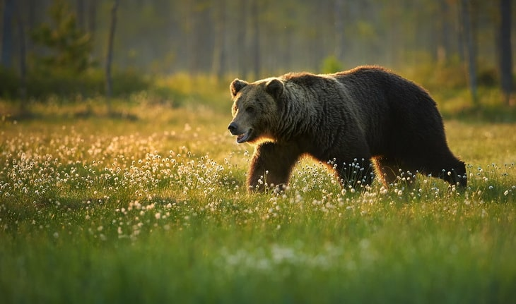 Male-Brown-Bear Walking