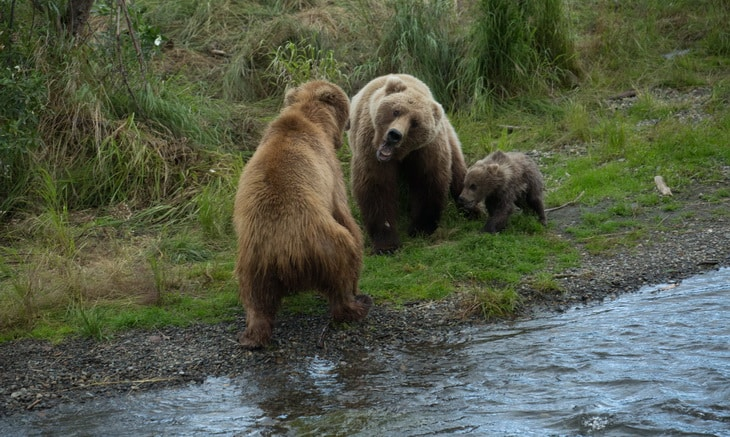 Male bear begins attack on mother and cub.
