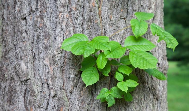 Poison Ivy Rush