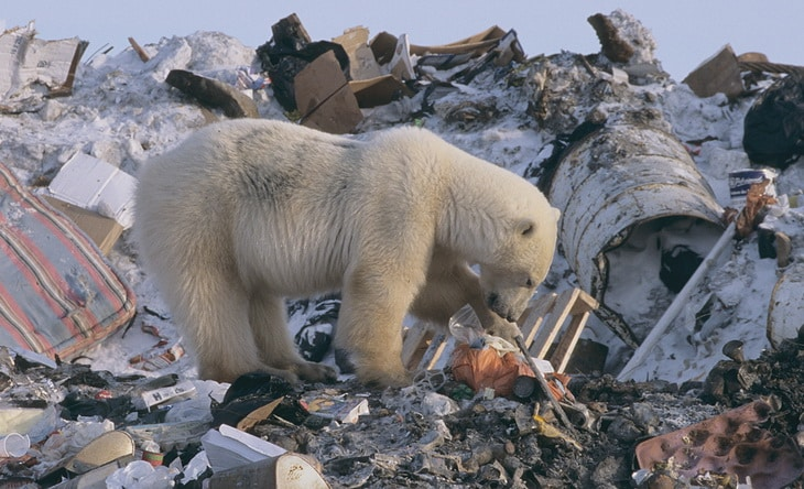 Polar bear foraging at garbage dump while food-deprived on land during the ice-free season.